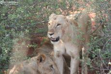 IMG 7547-Kenya, lions at Tsavo East